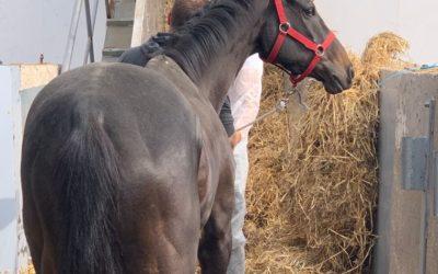 El Port exporta por primera vez caballos de carreras